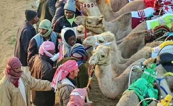 Người nuôi lạc đà đang thu lãi hàng triệu dollar mỗi năm
